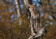 Il gatto selvatico (rufus di Lynx) sta in cima al ceppo Immagine Stock