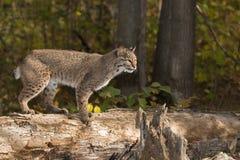 Il gatto selvatico (rufus di Lynx) sta sul ceppo che sembra giusto Fotografia Stock