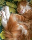 Il gatto si rilassa il micio del gatto del mainecoon Fotografie Stock