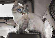 Il gatto si siede in automobile su seduta del passeggero immagini stock