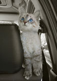 Il gatto si siede nell'automobile e guarda verso l'alto Fotografia Stock