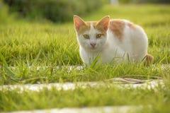 Il gatto si siede a piedi il percorso e l'erba verde Fotografie Stock Libere da Diritti