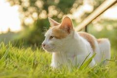 Il gatto si siede a piedi il percorso e l'erba verde quando il tramonto e luce solare Immagine Stock
