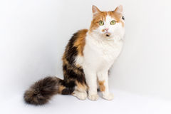 Il gatto si siede su un fondo bianco Immagini Stock Libere da Diritti