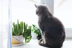 Il gatto si siede su una finestra Gatto vicino al vaso da fiori pianta verde nella finestra fotografia stock libera da diritti