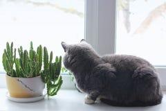 Il gatto si siede su una finestra Gatto vicino al vaso da fiori pianta verde nella finestra immagini stock libere da diritti