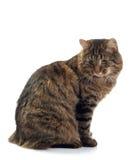 Il gatto si siede su una priorità bassa bianca Fotografia Stock Libera da Diritti