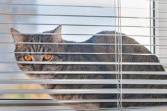 Il gatto si siede sul davanzale fra la struttura della finestra ed i ciechi orizzontali d'attaccatura immagine stock