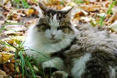 Il gatto si trova fra le foglie di autunno cadute luminose fotografia stock libera da diritti