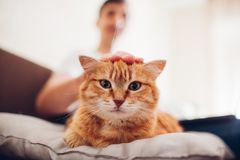 Il gatto si trova su un cuscino a casa vicino al suo padrone fotografia stock