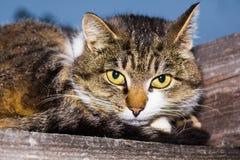 Il gatto si trova su una superficie di legno Immagine Stock