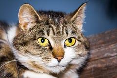 Il gatto si trova su una superficie di legno Fotografie Stock Libere da Diritti