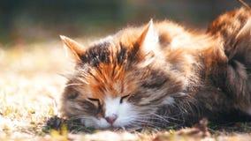 Il gatto si trova sull'erba, riscalda sotto il sole, si accinge a cade addormentato stock footage