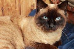 Il gatto siamese si siede su un fondo marrone fotografia stock libera da diritti