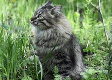 Il gatto siberiano fotografia stock