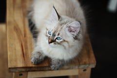Il gatto siberiano bianco si trova sul banco Immagine Stock Libera da Diritti