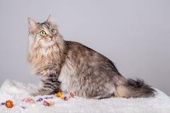 Il gatto siberiano sta guardando alla destra superiore fotografia stock