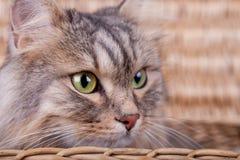 Il gatto siberiano sta guardando da un canestro alla destra fotografia stock