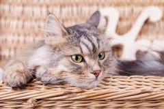 Il gatto siberiano sta guardando da un canestro alla destra immagini stock libere da diritti