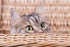Il gatto siberiano sta guardando da un canestro alla destra immagine stock