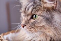 Il gatto siberiano sta guardando da un canestro a sinistra fotografia stock
