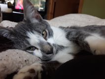 Il gatto sonnolento del felix si rannicchia fotografia stock