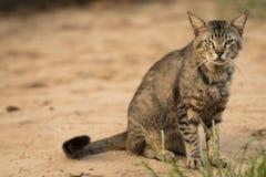 Il gatto spaventoso che fissa alla macchina fotografica prepeared per attaccare Obiettivo macro Fotografia Stock