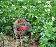 Il gatto sta camminando nel giacimento di fioritura della patata Immagine Stock