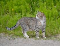 Il gatto sta camminando sulla via Fotografie Stock Libere da Diritti