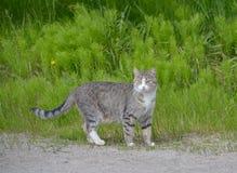 Il gatto sta camminando sulla via Immagine Stock