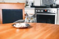 Il gatto sta esaminando l'alimento la tavola fotografie stock