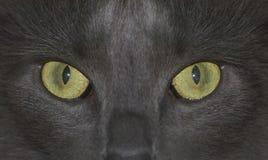 Il gatto sta fissando voi! Fotografia Stock Libera da Diritti