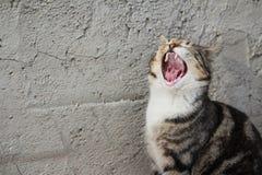 Il gatto sta gridando Immagini Stock