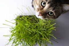 Il gatto sta mangiando l'erba fotografie stock libere da diritti