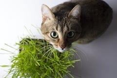 Il gatto sta mangiando l'erba fotografia stock