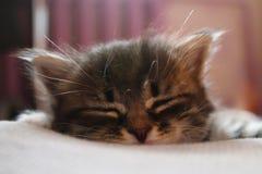 Il gatto sta riposando Fotografia Stock
