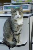 Il gatto sta sedendosi Immagini Stock Libere da Diritti