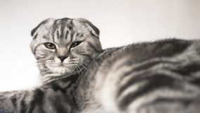 Il gatto sta trovandosi Bello gatto di tabby Gatto scozzese britannico del popolare L'animale domestico riposa nella stanza stock footage