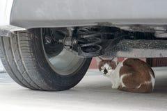 Il gatto sta trovandosi sotto l'automobile Immagine Stock