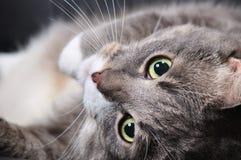 Il gatto sta trovandosi su una presidenza Fotografia Stock Libera da Diritti