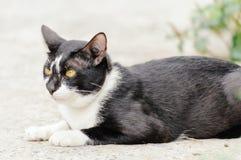 Il gatto a strisce in bianco e nero sta guardando qualcosa mangiare di mattina immagine stock libera da diritti