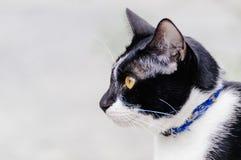 Il gatto a strisce in bianco e nero sta guardando qualcosa mangiare di mattina fotografia stock libera da diritti