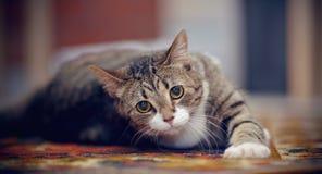 Il gatto a strisce con le zampe bianche, bugie su un tappeto fotografia stock