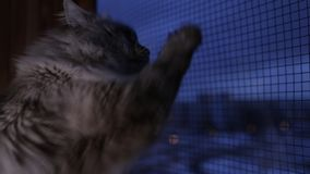 Il gatto sveglio di Neva Masquerade che guarda dalla finestra che graffia il vetro con è zampe a casa all'interno nell'inverno video d archivio