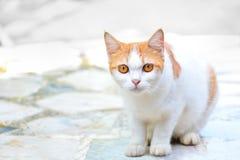 Il gatto sveglio ha occhi gialli si siede là esaminando qualcosa sospettoso sul pavimento di marmo Fotografia Stock