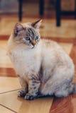 Il gatto sveglio si siede in mezzo alla stanza sul pavimento della casa Immagini Stock