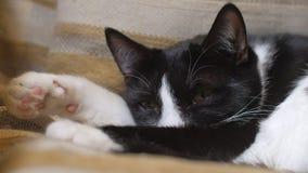 Il gatto sveglio sta sonnecchiando negli occhi di una sedia, di closing e di apertura archivi video