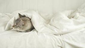 Il gatto tailandese pone sotto una coperta, il cane salta su un letto e determina un video del metraggio delle azione del gatto archivi video
