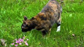 Il gatto tricolore fiuta l'erba e mangia video d archivio