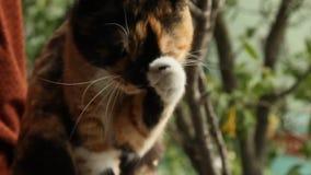 Il gatto tricolore lecca sul davanzale dalla finestra aperta per un fondo verde vago la tenda ondeggia il vento l'animale domesti stock footage